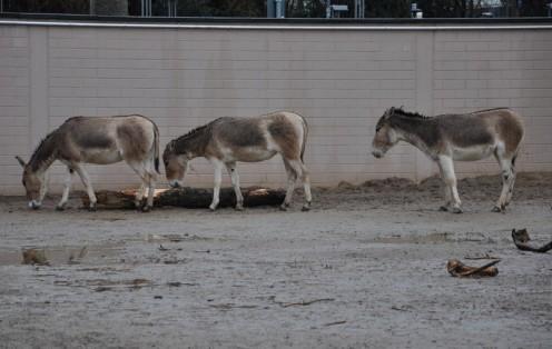 Onager im Kölner Zoo © Ekkehart Schmidt