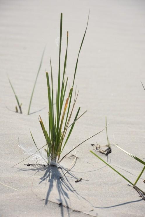 Strandhafer auf Borkum © Ekkehart Schmidt